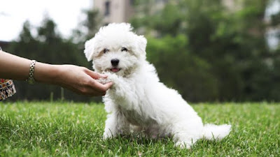 perro maltes hablando