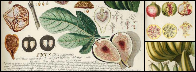 Plantae selectae grabados de plantas del siglo xviii en for Calendario jardin botanico 2016