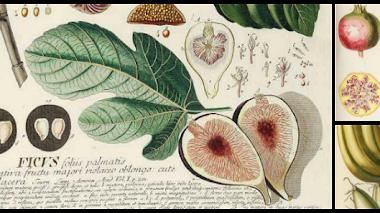 Plantae Selectae. Grabados de plantas del siglo XVIII en el calendario 2016 del Botánico de Madrid