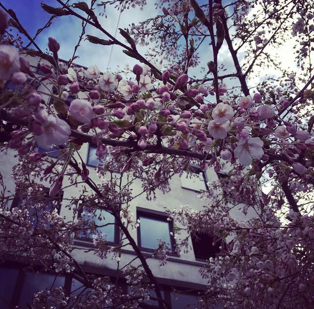 Cherry Blossom dating Aasian tavata