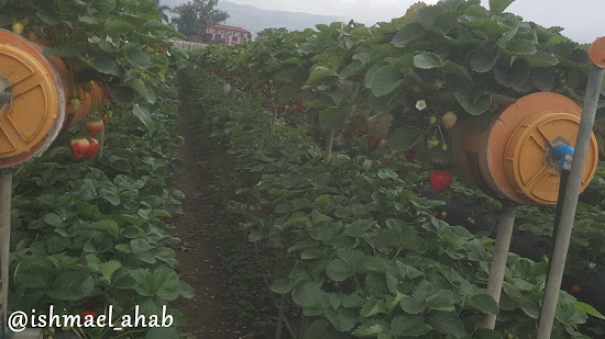Growing strawberries in Strawberry Farm in La Trinidad, Benguet