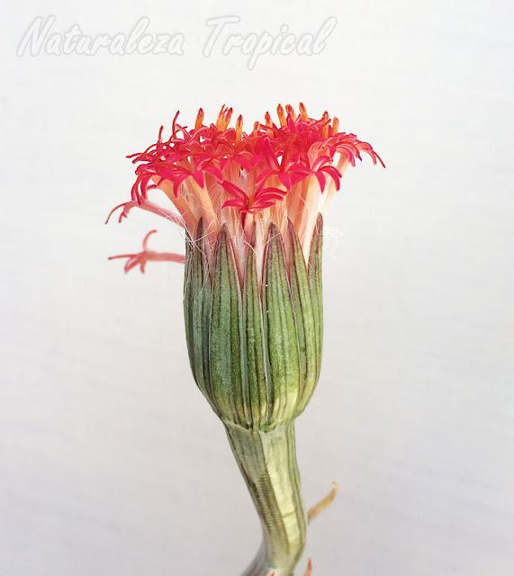 Vista de una inflorescencia de la planta suculenta Kleinia pendula