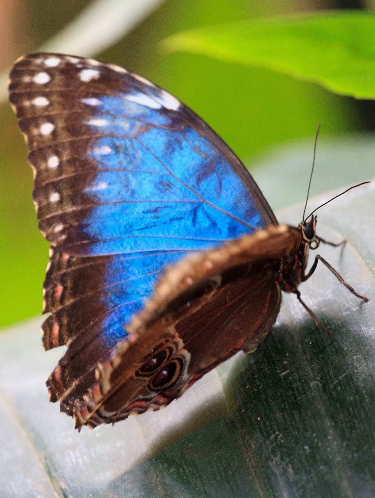 A picture of a colorful blue brown butterfly.