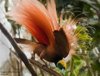 Burung Cenderawasih Paradisaea raggiana