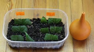 Стрептокарпус: размножение листом