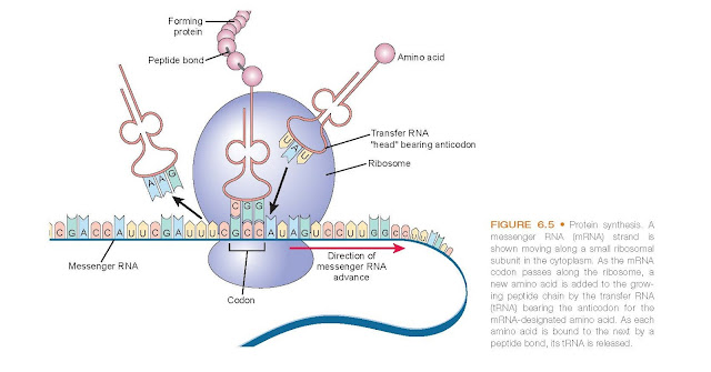 Protein synthesis. A messenger RNA (mRNA) strand is shown moving along a small ribosomal subunit in the cytoplasm.