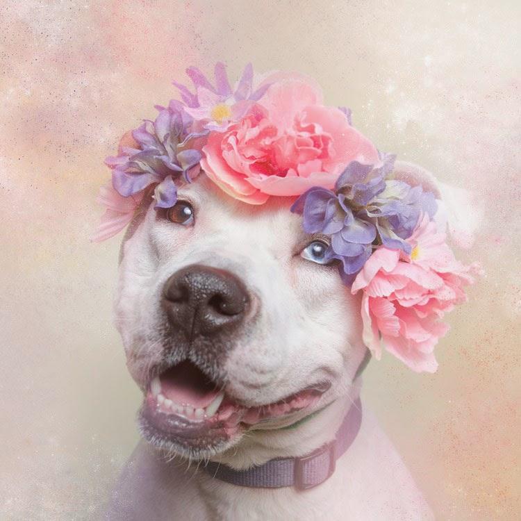 Flower Power el lado dulce y tierno de los Pitbull por Sophie Gamand