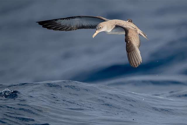 A Canary Islands Pelagic November 2017