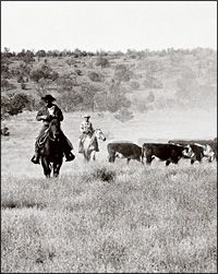 cattle drive in new mexico