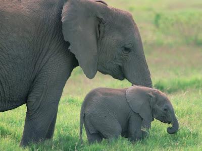 Imagen de elefante paseando con su cria bebe