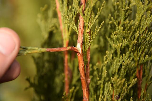zrazy do sadzonkowania pozyskiwanie, zrazy pozyskujemy, zrazy pozyskiwanie, rozmnażanie roślin, sadzonkowanie roślin, ogród przydomowy