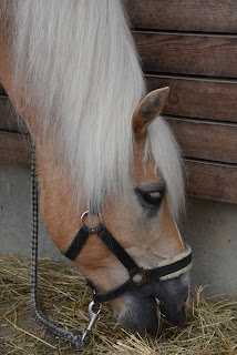 A palomino horse with a black head collar eating hay from the ground