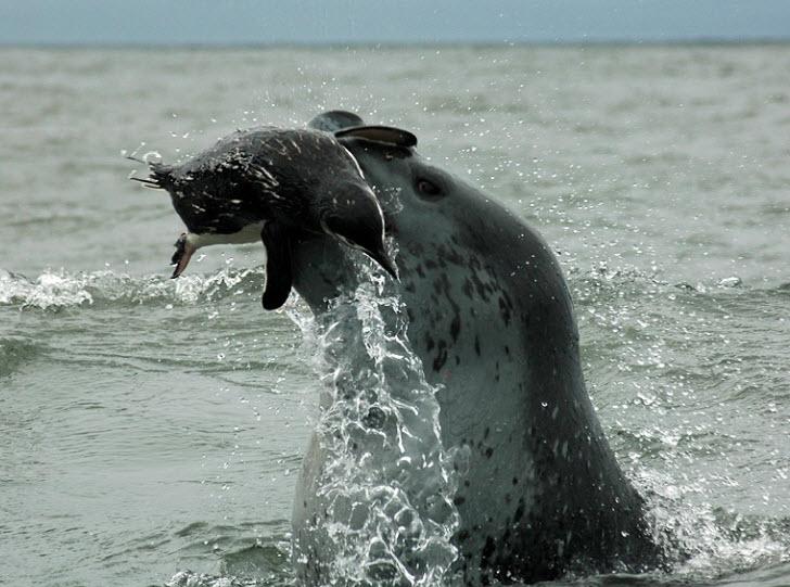 Leopard Seal   The Biggest Animals Kingdom