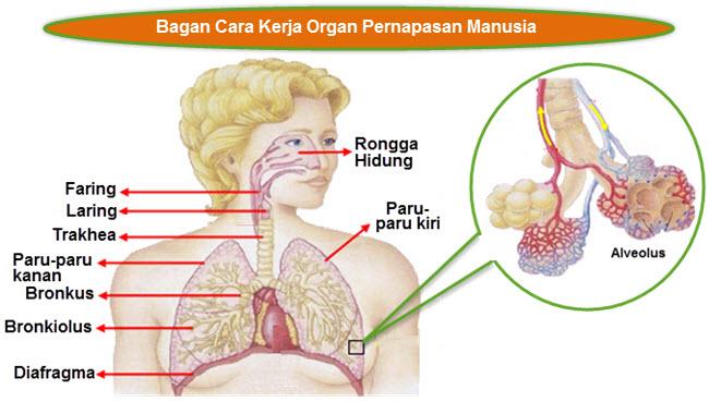 Bagan Cara Kerja Organ Pernapasan