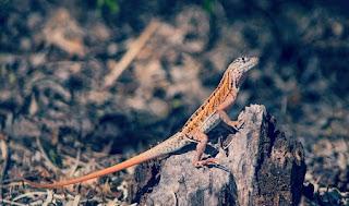 Jenis Iguana chalarodon madagaskar dan Harganya