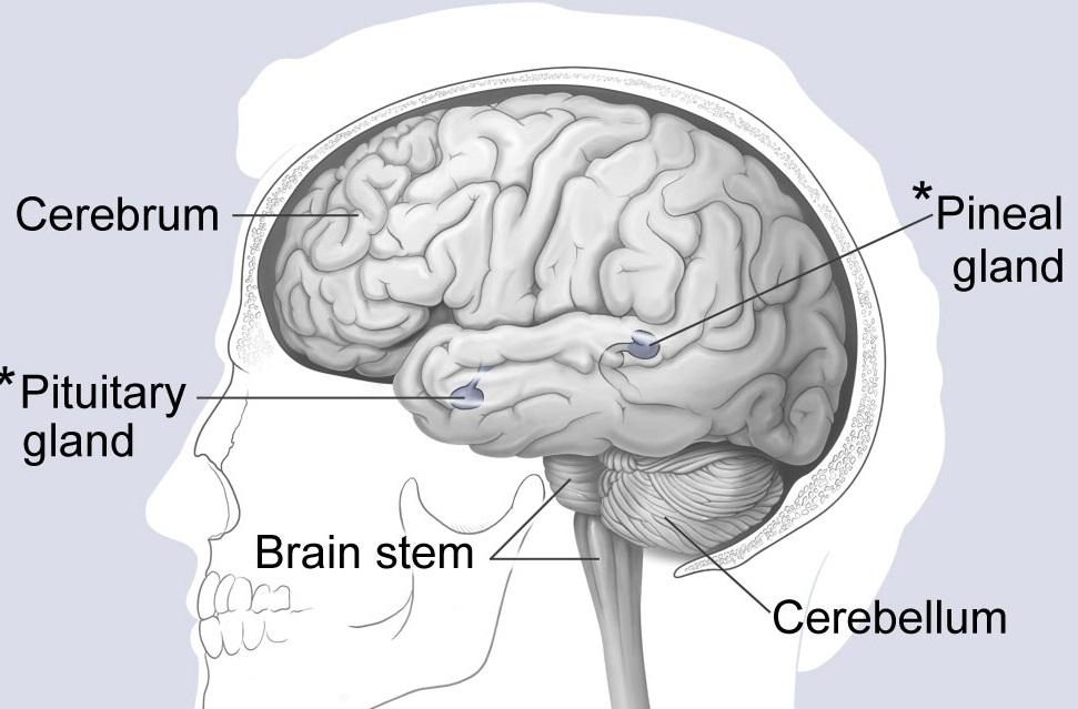 Bagian Otak Manusia  Dan Fungsinya Lengkap Penjelasan Dan