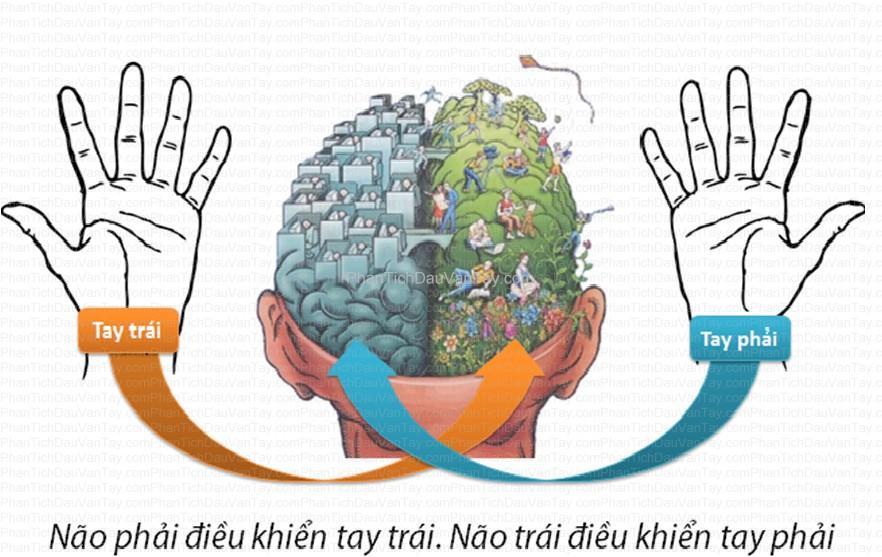 Phân-tích-dấu-vân-tay-và-não-bộ, Phan-tich-dau-van-tay-va-nao-bo
