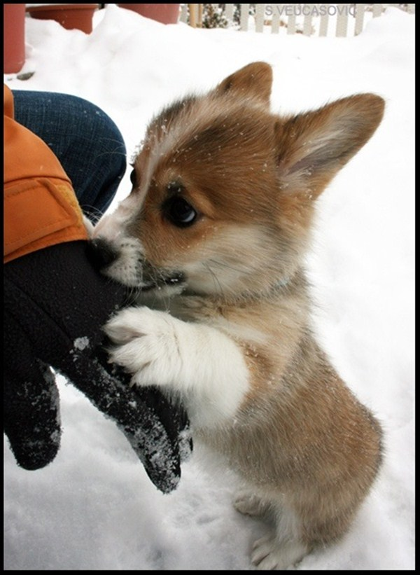 Best Of Cute And Funniest Corgi Puppies Videos Compilation ...  |Cute Baby Dog Pictures