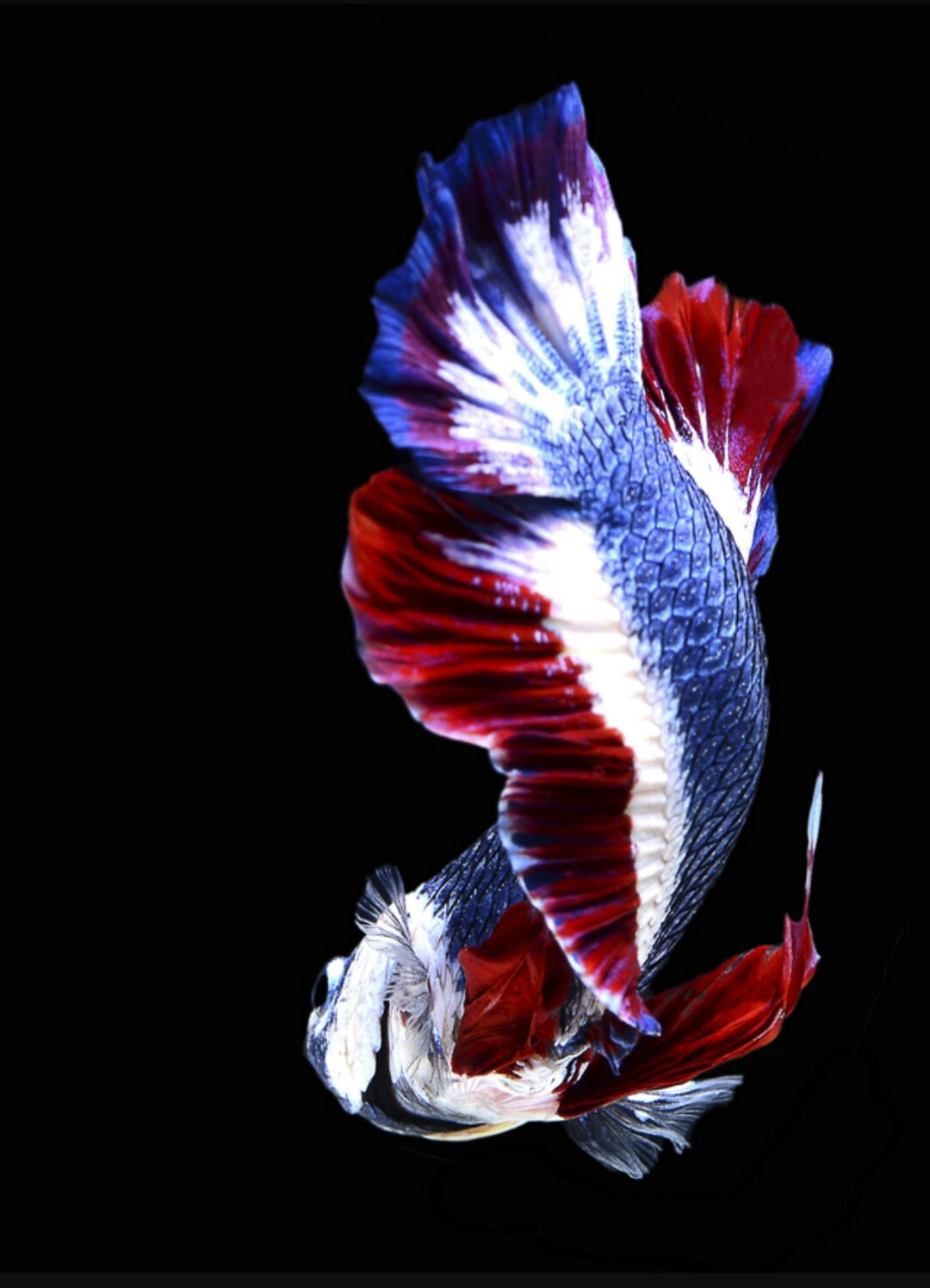 Ikan Cupang Jenis