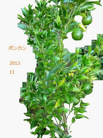 鉢植えのポンカン