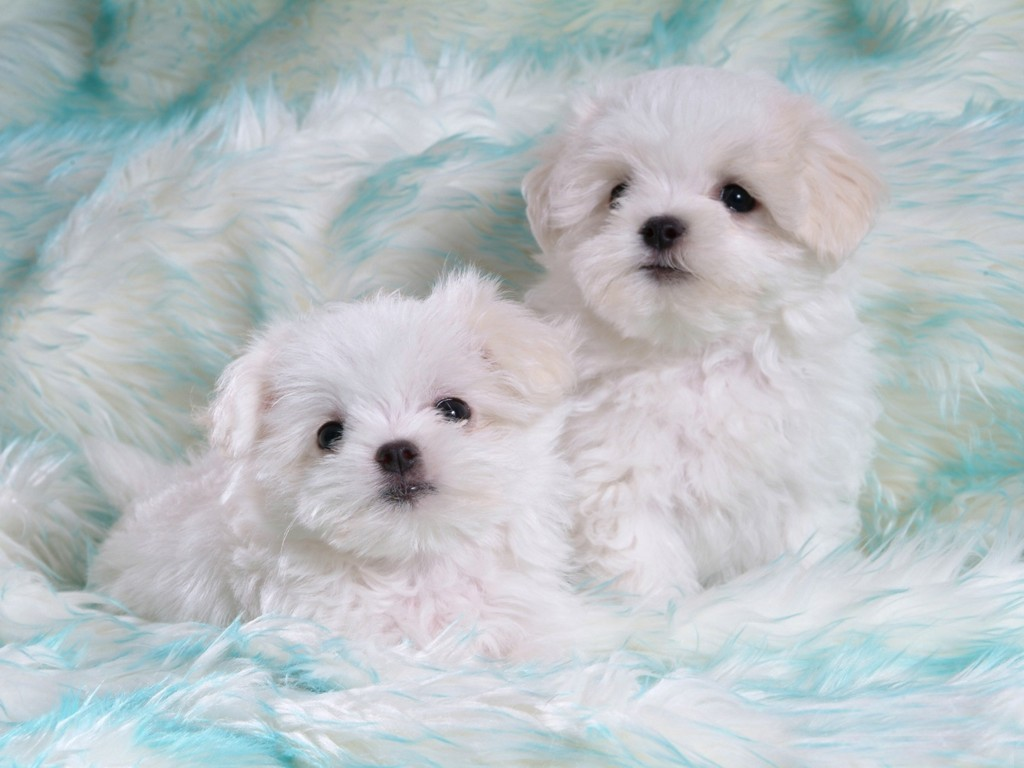 Latest Wallpapers: cute white puppies