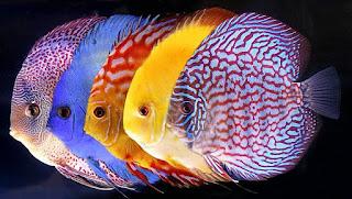 Jenis - Jenis Ikan Discus Yang Perlu Anda Ketahui