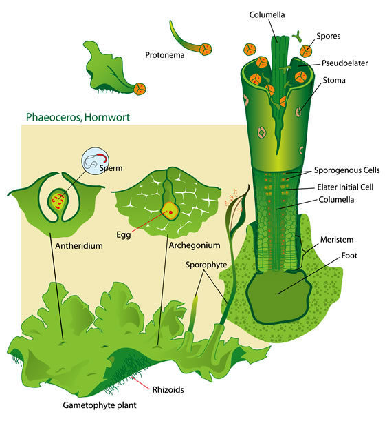 Hornwort life cycle