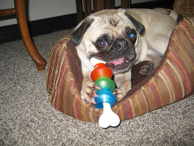Liam the pug with a toy