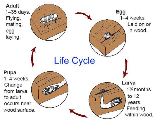 Lifecycle asian ambrosia beetle