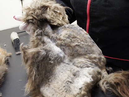 Matted longhair from a Persian cat