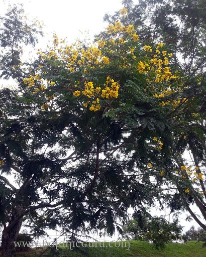 Caesalpinia sappan, East Indian Redwood, Sappan Wood