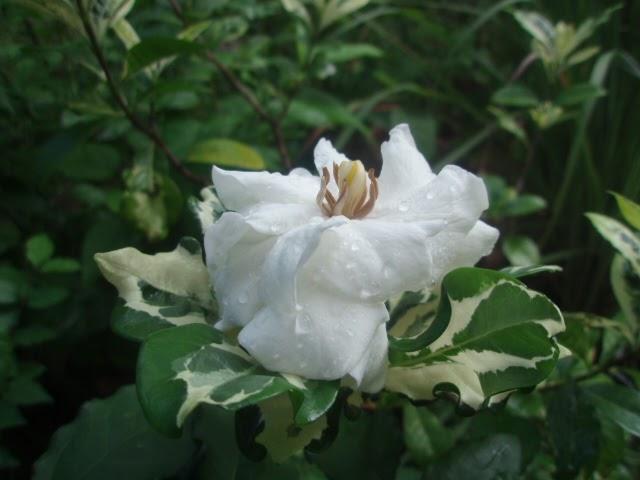 Gardenia jasminoides Variegata and a cloudGardenia Jasminoides Variegata