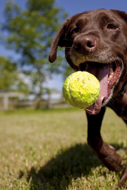 A Labrador Retriever about to catch a tennis ball