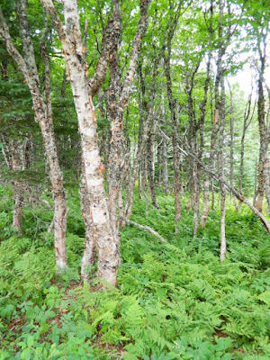 Birch forest and ferns at Skyline Trail Cape Breton Highlands National Park by garden muses-not another Toronto gardening blog