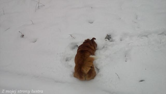 pies buszujący w śniegu