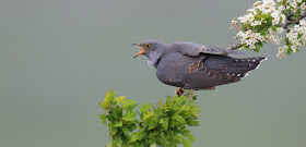 Cuckoo by Charles Tyler