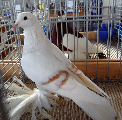 Sächsische Mondtaube - color pigeons