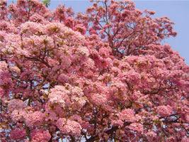 Очень красивое дерево Под'Арко