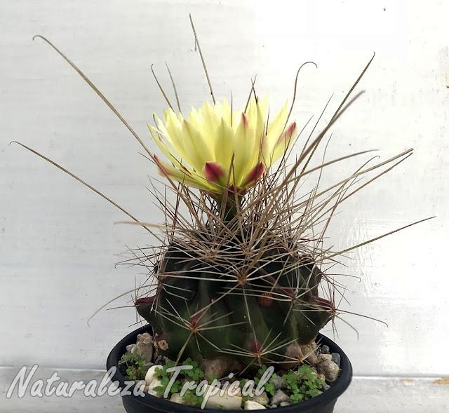 Vista del cactus Ferocactus hamatacanthus florecido