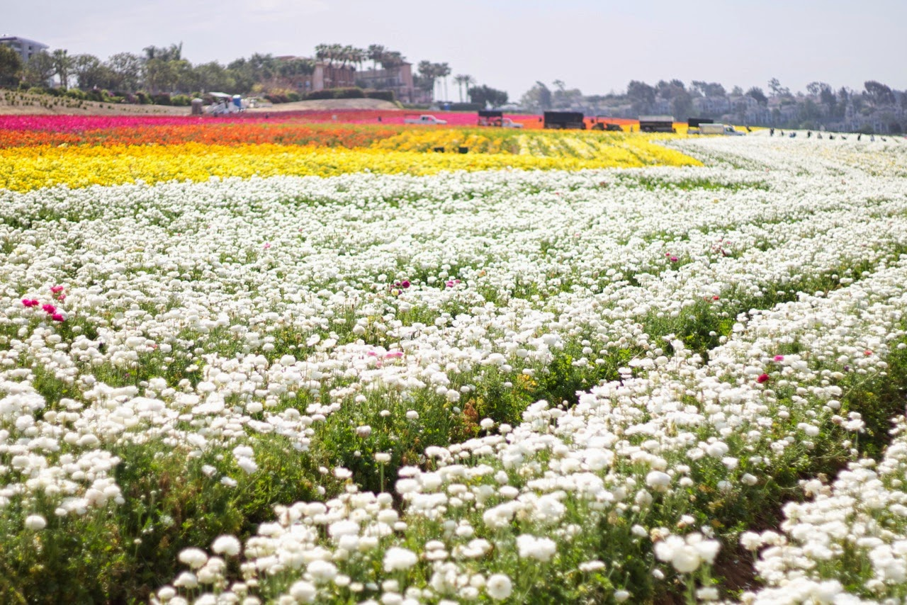 Carlsbad Flower Fields, Flower Fields, The Flower Fields, Carlsbad 2015, what to do in San Diego, fun things in San Diego, Northern San Diego activities