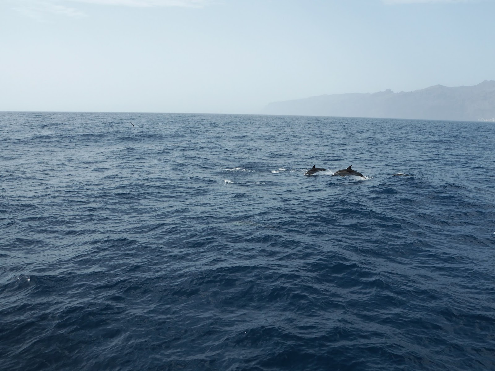 common dolphins jumping in the atlantic ocean