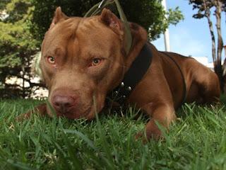 Los Pitbulls se encuentran entre algunos de los perros más maravillosos del planeta. Aunque muchas personas estarían en desacuerdo, estoy hablando principalmente de mi propia experiencia con mi perro