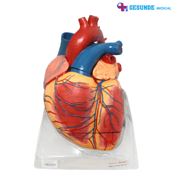 Torso Peraga Organ Jantung Dewasa