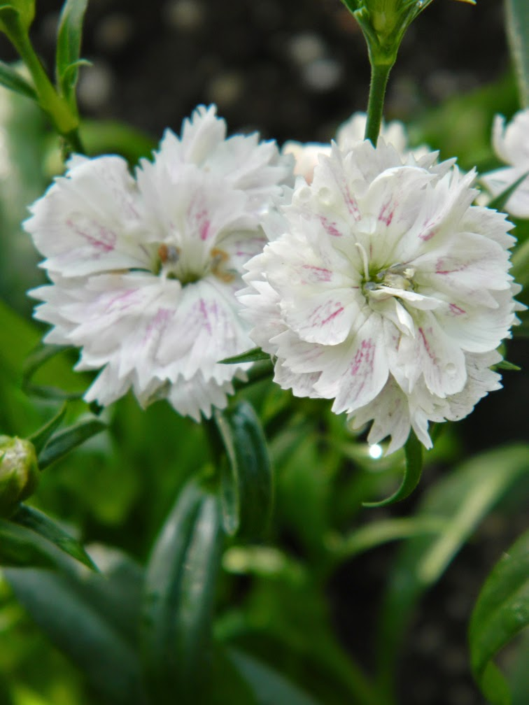 Allan Gardens Conservatory 2015 Spring Flower Show white Dianthus barbatus Sweet William by garden muses-not another Toronto gardening blog
