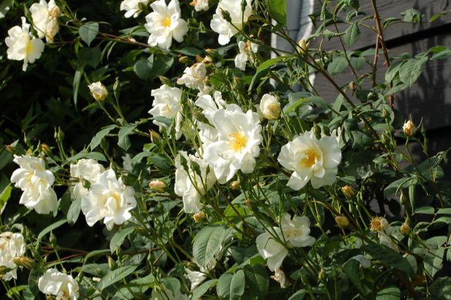 Rose garden, Rosa 'Windrush'