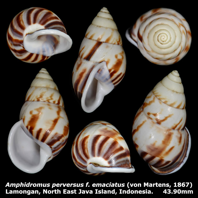 Amphidromus perversus f. emaciatus 43.90mm
