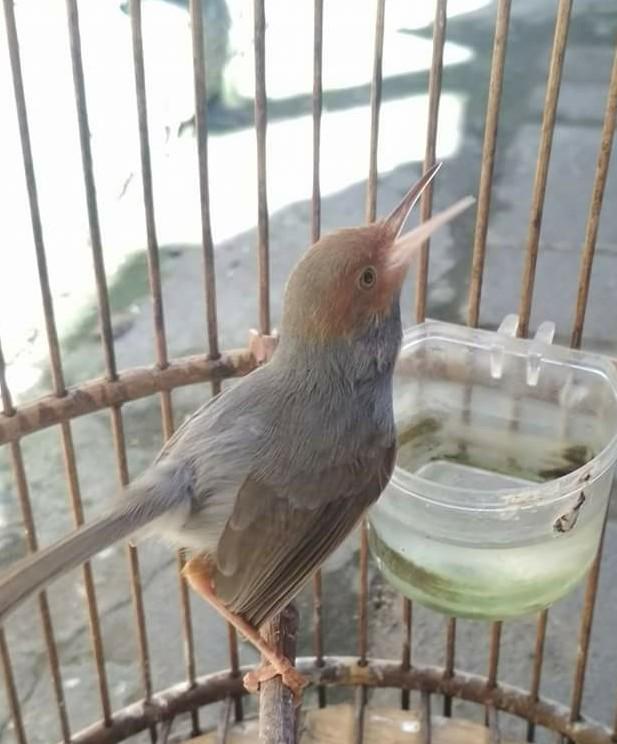 Jenis Jenis Burung Prenjak Dan Contohnya