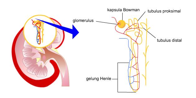 Bowman dan glomerulus