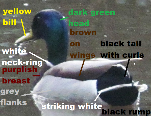 My Duck Has Black And White Feathers With A Green Bill See Pictures 26