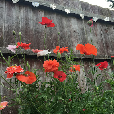 Poppies against the fence